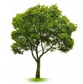 חלקי עץ המורינגה